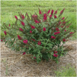 Flowering shrubs english country gardens features sanagria red summer flowers that will attract butterflies and hummingbirds to your garden this compact fragrant flowering shrub is also deer mightylinksfo