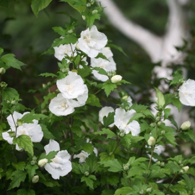 Flowering shrubs english country gardens picture hibiscus chiffon white mightylinksfo Images